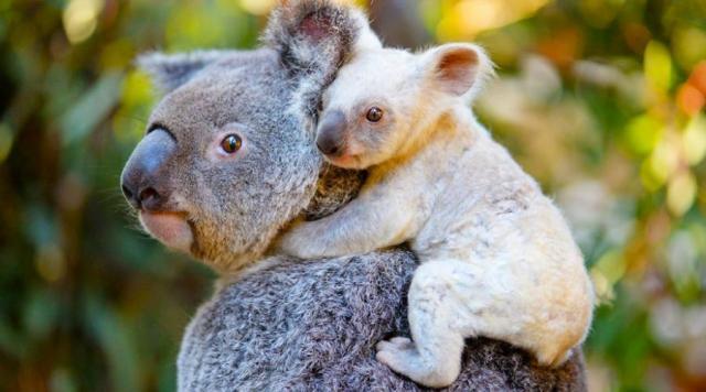 AUSTRALIA CLASICA